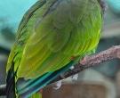 Amazona-Vinosa-(3)