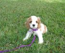 1024px-AMERICAN_COCKER_SPANIEL_PUPPY_7_WEEKS