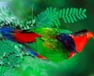lori-tricolor-4