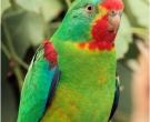 periquito-migrador-4