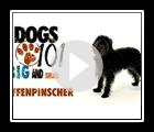 Dogs 101- Affenpinscher