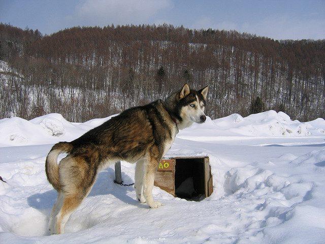 Alaskan Husky - Autor de la foto: siva_lovehorses (flickr).