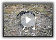 Basset Bleu de Gascogne video breeding of An Naoned