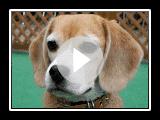 """Purin Beagle """"Modern Girl"""""""