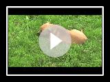 Kokos - Bou-CA (Mallorquin Mastiff Hund)