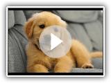 Best Of mignon Golden Retriever Puppies Compilation