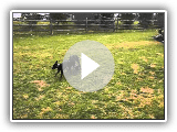 Standard Manchester Terrier Puppies