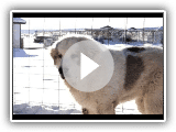 Pyrenean Mastiff Puppy Winter