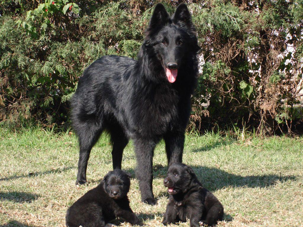 Belgian Shepherd Groenendael Dogs Breeds Pets