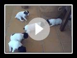cachorros de ratonero bodeguero andaluz con 17 dias