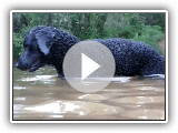 Bouclés natation Coated Retriever