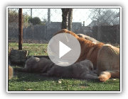Mastin Spanish /Spanish mastiff puppies in kennel Tornado Erben