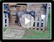 Neapolitan Mastiff History Character Characteristics And Attitudes
