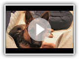 German Shepherd Dog Tribute - Sam von Wilhendorf