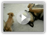 Puppy Owns German Shepherd