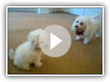 Playing Bichon Puppies!