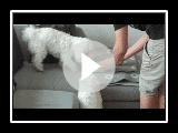 3 Bologneser Hunden spielen und jagen einander
