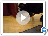 ashley the black and tan coonhound playing with a fly