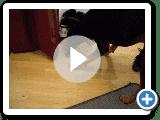 Ashley der Black And Tan Coonhound spielen mit einer Fliege