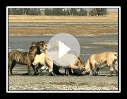 Boerboel Hunde