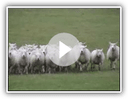 Die Working Sheepdogs ( Border Collies ) in der Ausbildung