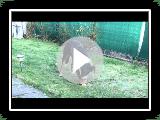 Appenzeller Sennenhund Finn mit 10 Monaten
