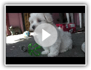 Maltese Puppies - 8 weeks old