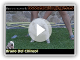 El Baño del Bulldog Ingles /  Bath's English Bulldog / www.elbulldogingles.es
