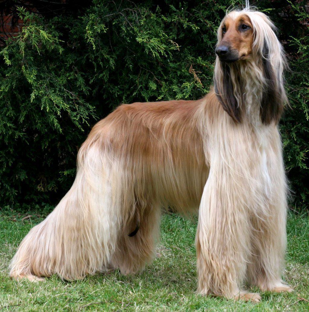 Greyhound afegão