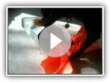 German Shorthaired Pointer Dog Opening a Present