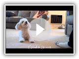 Miniature Poodle Tricks