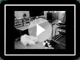 Lulú de Pomerania muy juguetona