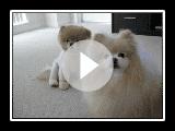 #2 Boo The Cutest Pomeranian - Soul Seekin Woman