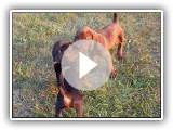 ADORABLE Redbone Coonhound Puppies Playing (5 wks old)