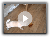 Cute Norwegian Buhund Puppy Playing