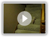 Hamlet the Mini Pig - Goes Down the Stairs