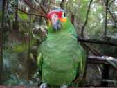 Amazona autumnalis