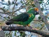 Papagaio-de-jardine