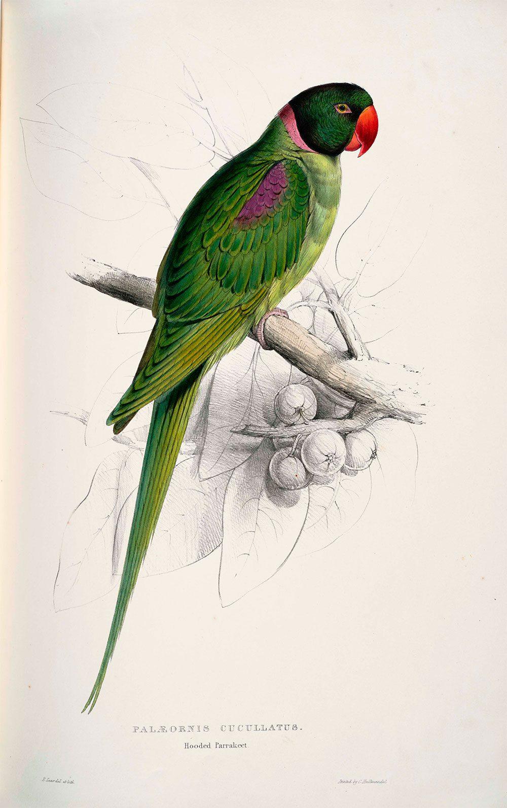 Alexandrine Parakeet (Psittacula eupatria) - Exotic birds |Pets