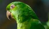 Socorro Parakeet
