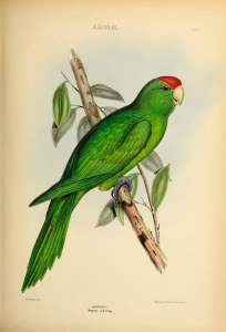 Ilustración Aratinga de Wagler