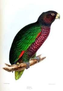Amazona Imperial