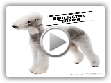 "Bedlington Terrier el perro ""oveja"" cuidados historia."