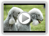 Bedlington Terrier  - Race de chien