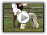 Bedlington Terrier - AKC Dog Series Race