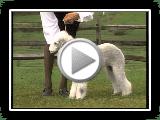 Bedlington Terrier - Série da raça do cão de AKC