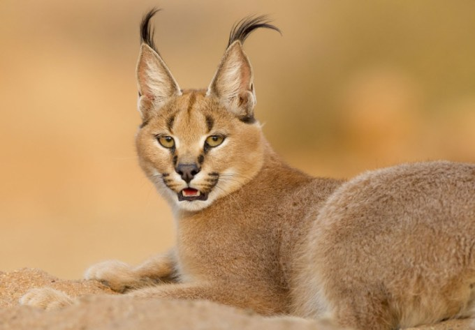 Kucing caracal