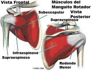 manguito-rotador-musculos-hombro