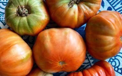 Collserola recupera el tomate mandó, una variedad carnosa de sabor intenso