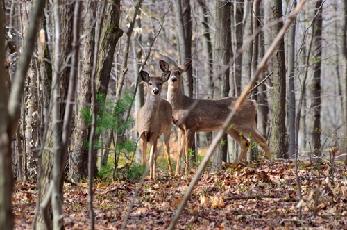 deer picture mason county press